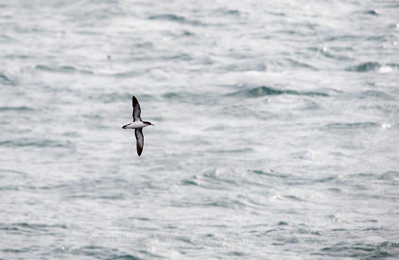 Manx Shearwater, Northern Norway