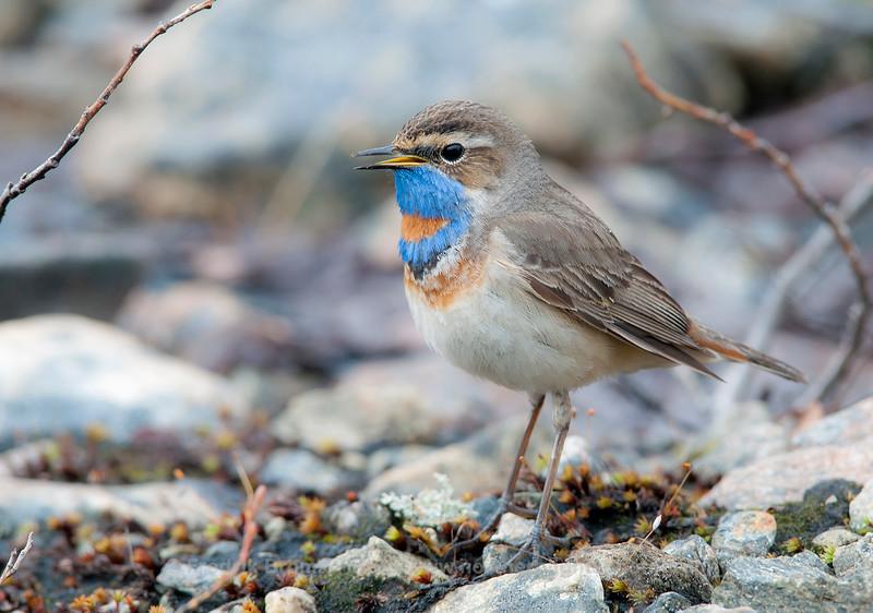 Singing Bluethroat, Norway