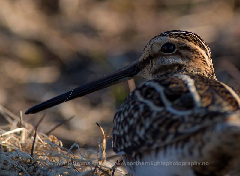 Common Snipe - Enkeltbekkasin - Gallinago gallinago