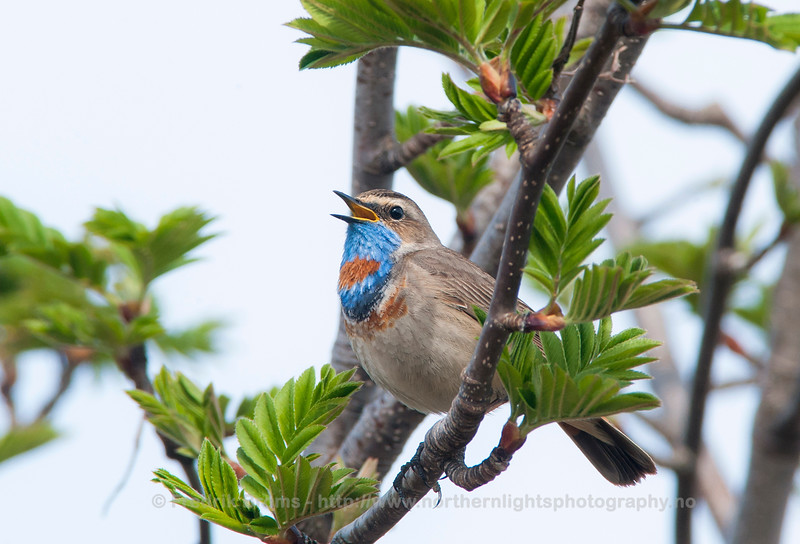 Bluethroat, Close-up, Norway