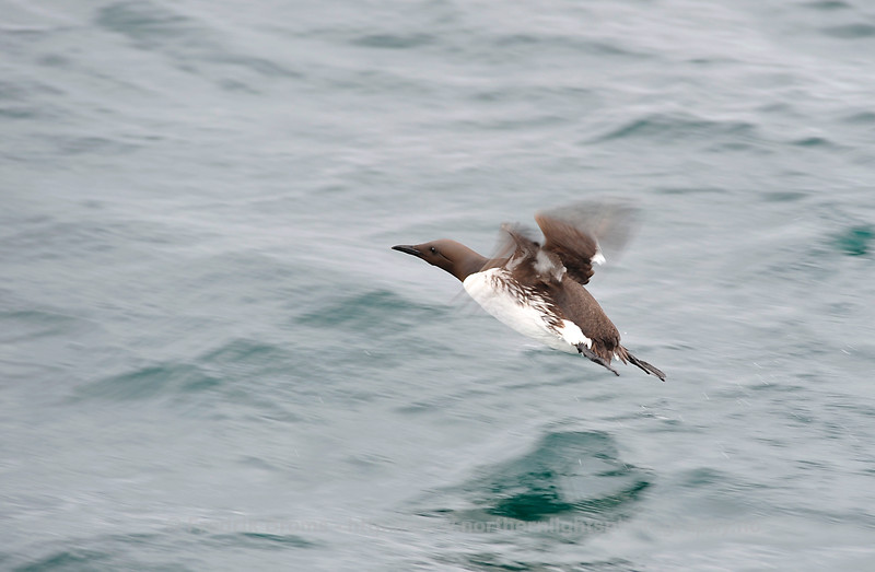 Common Guillemot, Norway
