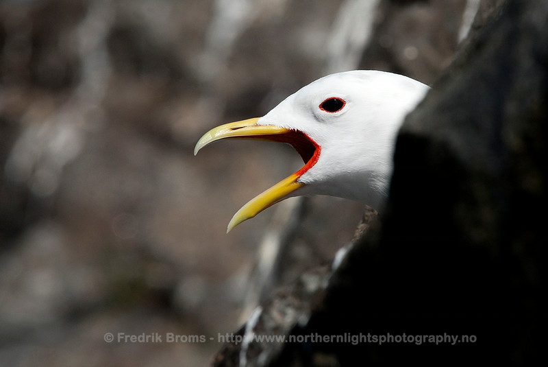 Black-legged Kittiwake, Screaming, Norway
