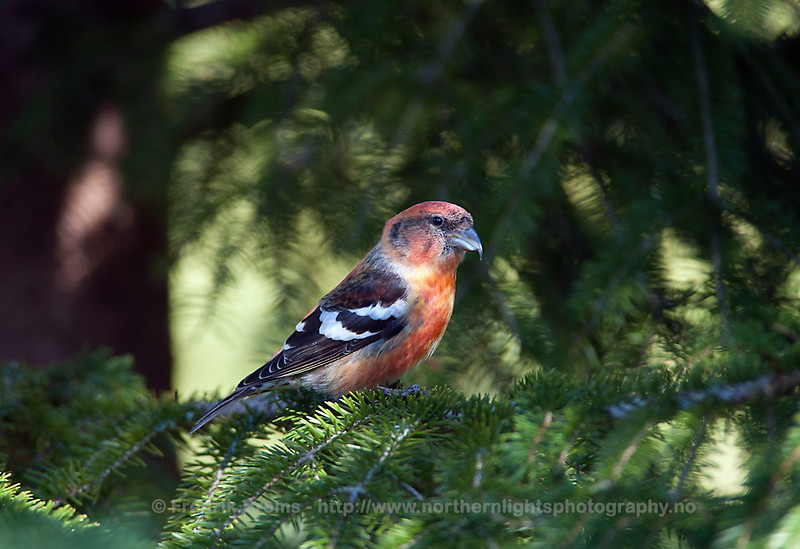Two-barred Crossbill, Sweden