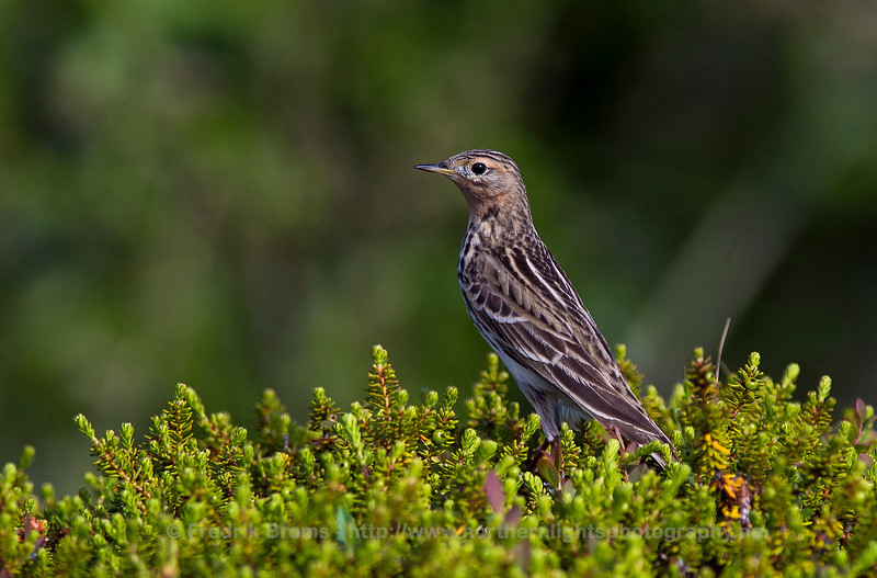 Red-throated Pipit - Lappiplerke - Anthus cervinus