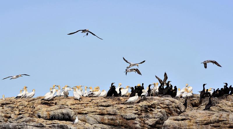 Northern Gannet - Havsule - Morus bassanus
