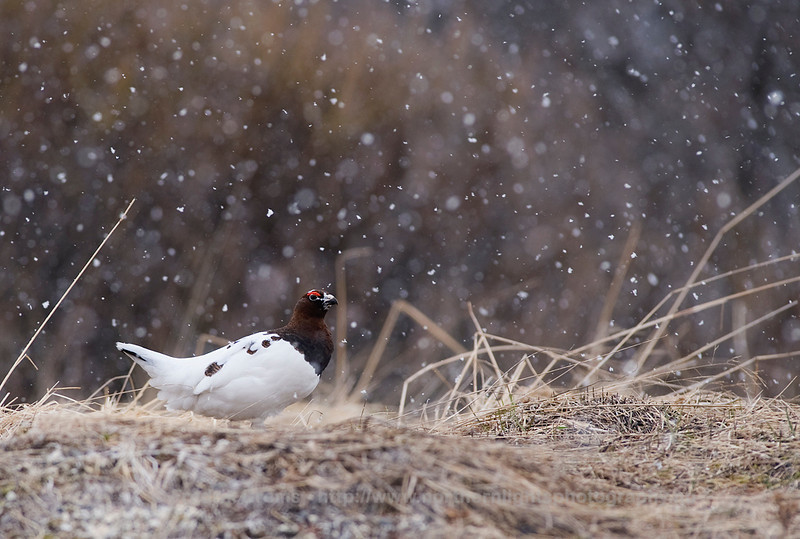Willow Grouse in Snow, Norway