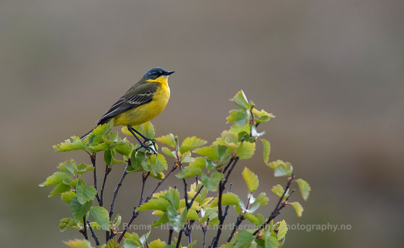 Yellow Wagtail, Norway