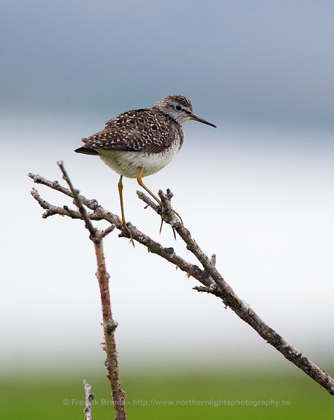 Wood Sandpiper, Norway