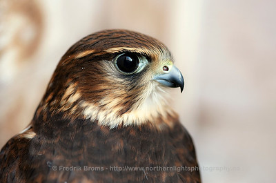 Merlin - Dvergfalk - Falco columbarius