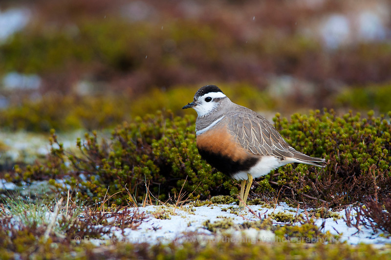 Eurasian Dotterel, Norway