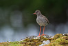 Redshank, Norway