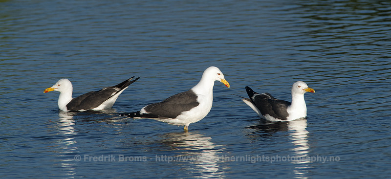 Lesser black-backed Gulls, Iceland