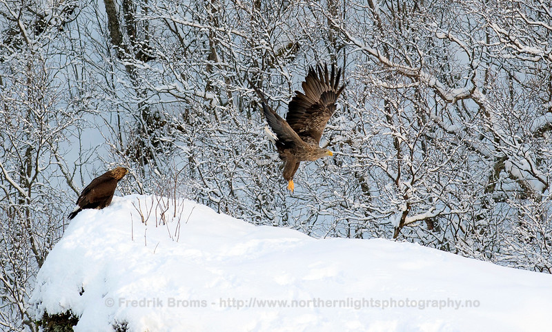 Golden Eagle and White-Tailed Eagle, Kattfjorden, Norway