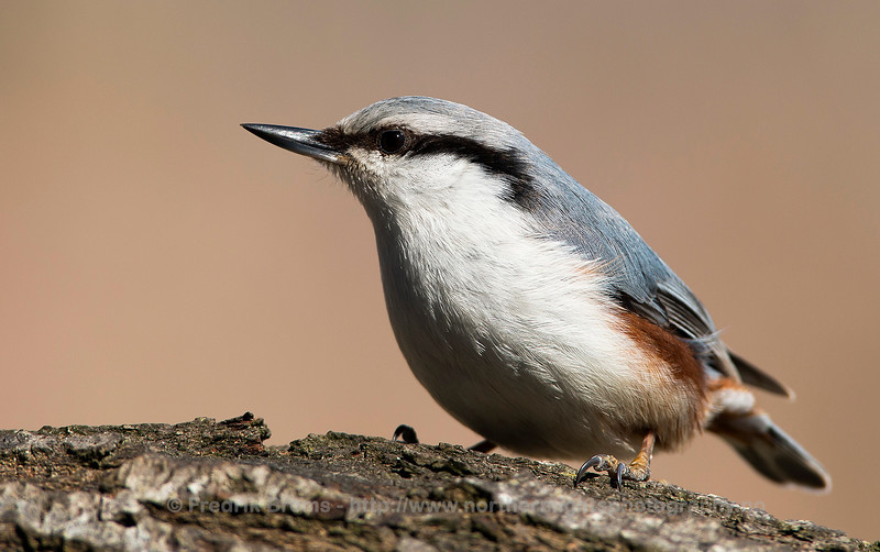 Nuthatch, Close-up, Sweden
