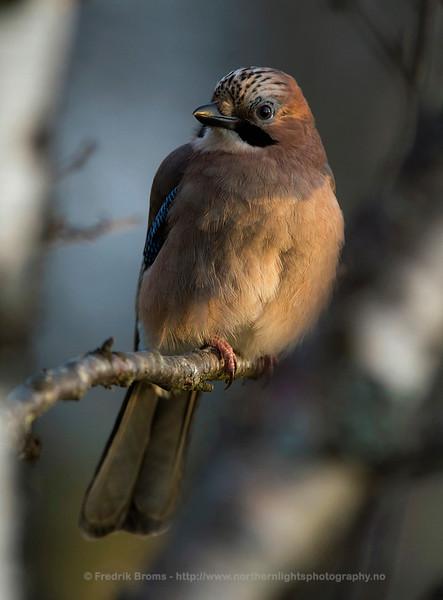 Eurasian Jay - Nøtteskrike - Garrulus glandarius