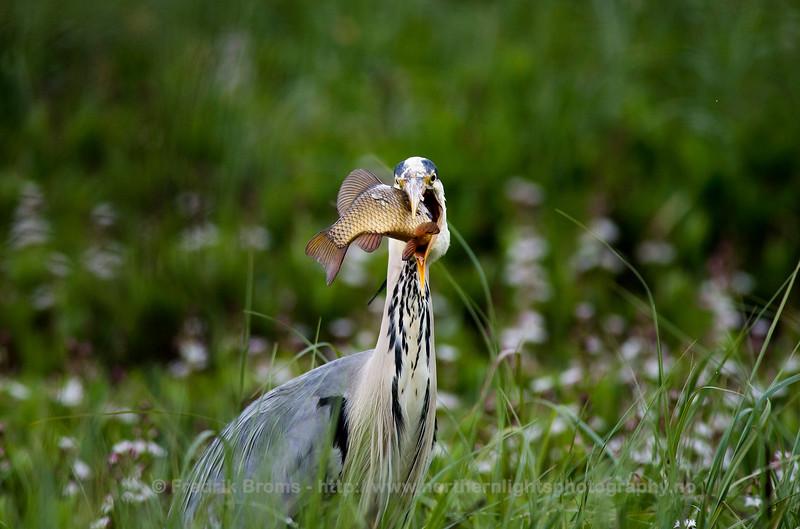 Grey heron - Gråhegre - Ardea cinerea