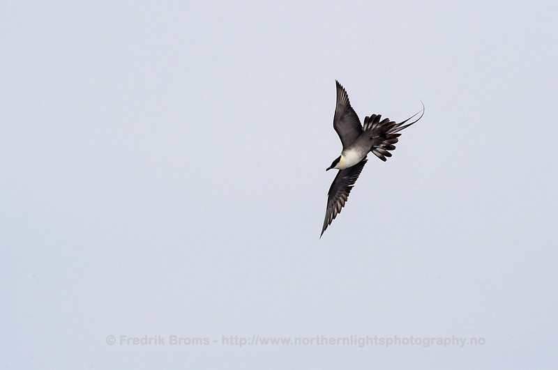 Longtailed Skua, Norway