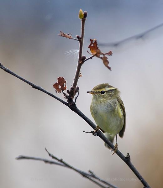 Yellow-browed Warbler, Norway