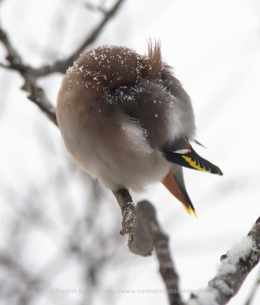 Waxwing hiding from Snow, Norway