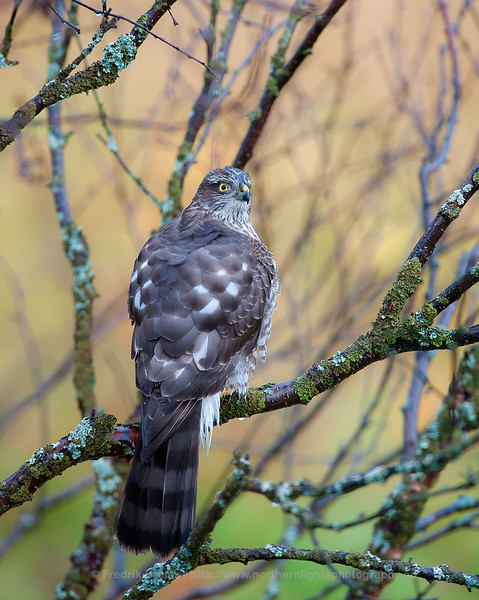 Sparrow Hawk, Kvaløya, Norway