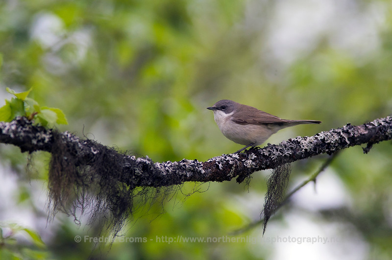 Lesser Whitethroat, Norway