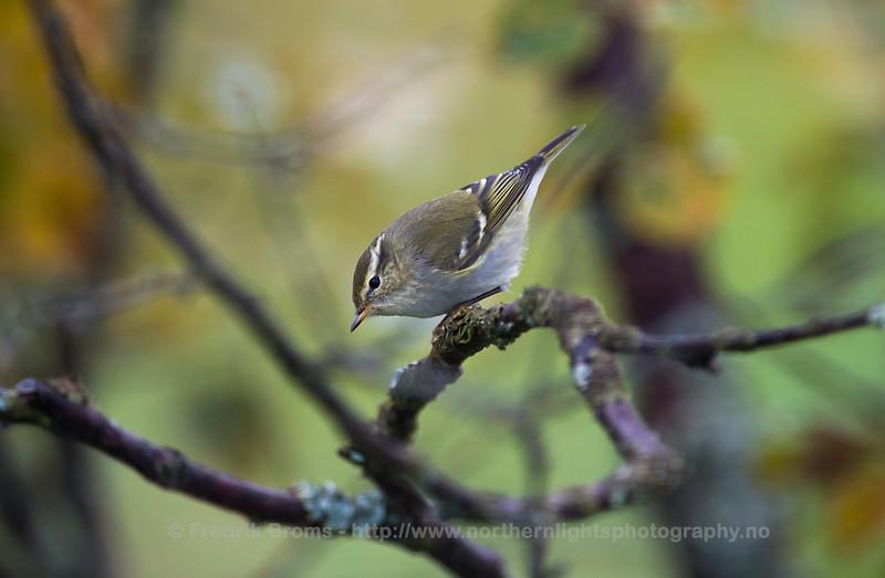 Yellow Browed Warbler - Gulbrynsanger - Phylloscopus inornatus