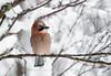 Eurasian Jay, Norway