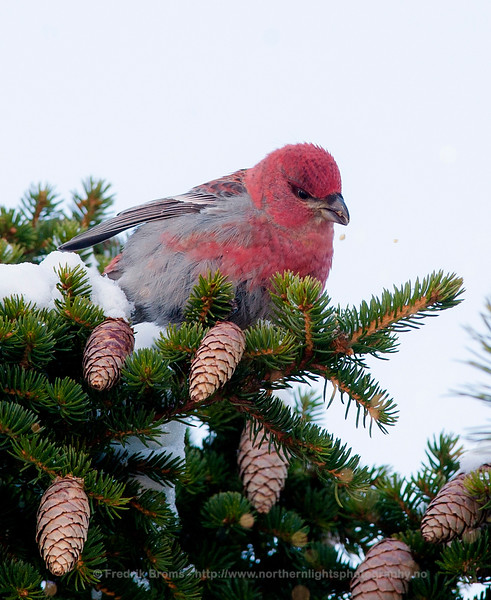 Pine Grosbeak, Kvaløya, Norway