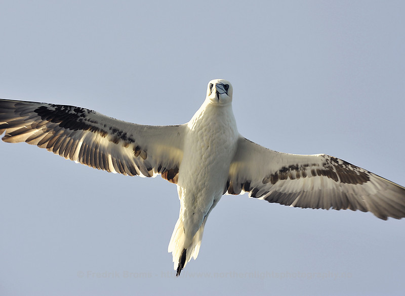 Flying Northern Gannet, Norway
