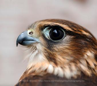 Merlin - Dverfalk - Falco columbarius