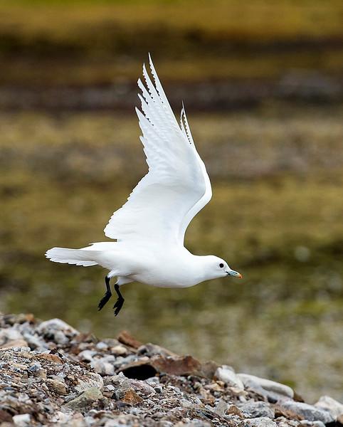 Ivory Gull, Svalbard