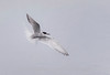 Young Arctic Tern, Norway