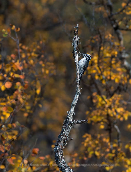 Three-toed Woodpecker, Northern Norway