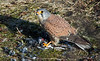 Kestrel with a newly caught Snow Bunting, Norway
