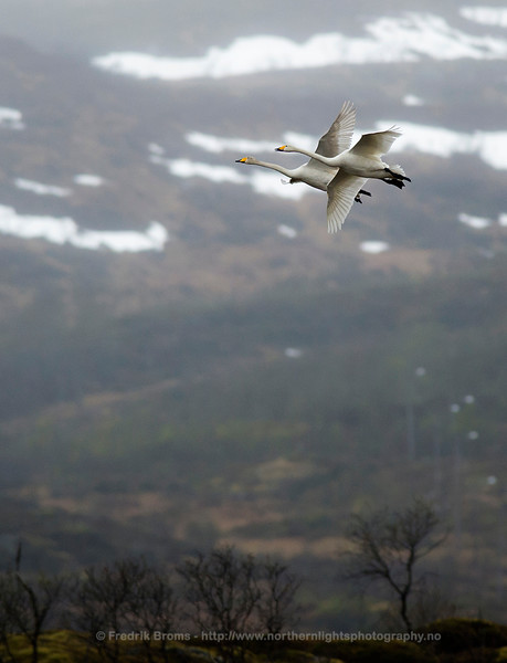 Whooper Swans at Breeding Site, Northern Norway