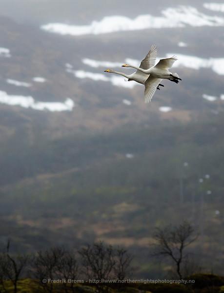 Whooper Swans at Breeding Site, Northern Norway
