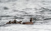 Harlequin Duck with ducklings, Iceland