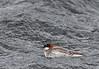 Red-necked Phalarope, Norway