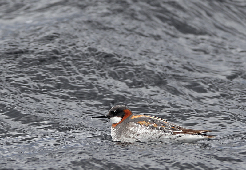 Red-necked Phalarope, Norway
