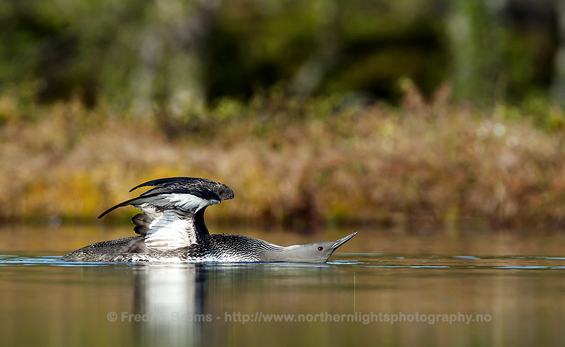 Displaying Red-throated Diver, Norway