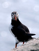 Atlantic Puffin, Norway