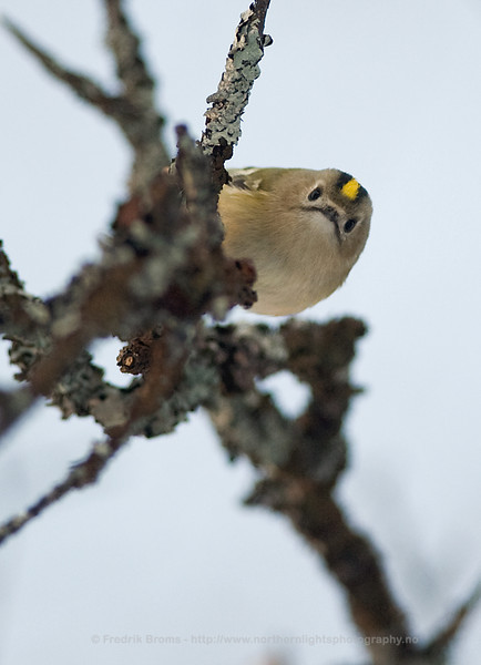 Curious Goldcrest, Norway