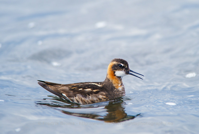 Red-necked Phalarope, Close-up, Iceland