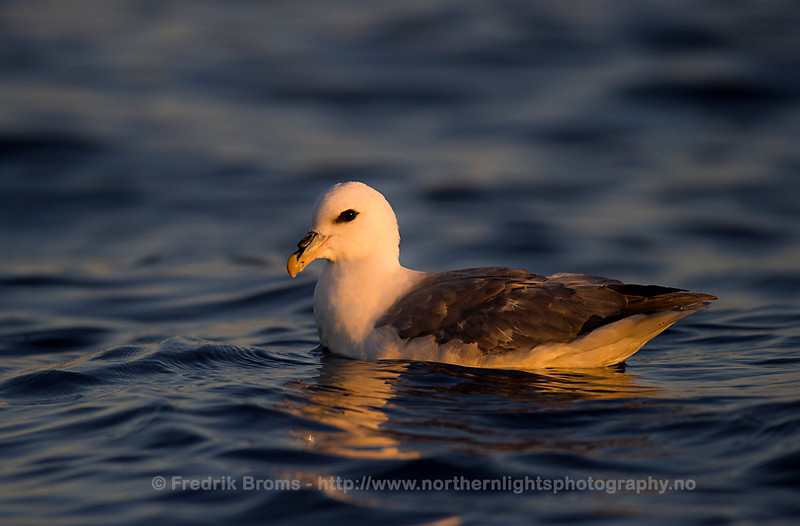 Northern Fulmar, Norway