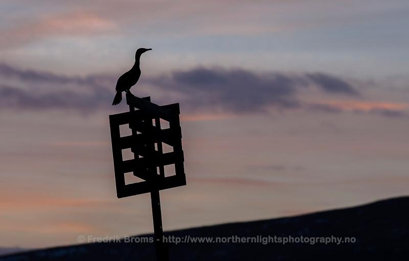 Cormorant, Norway