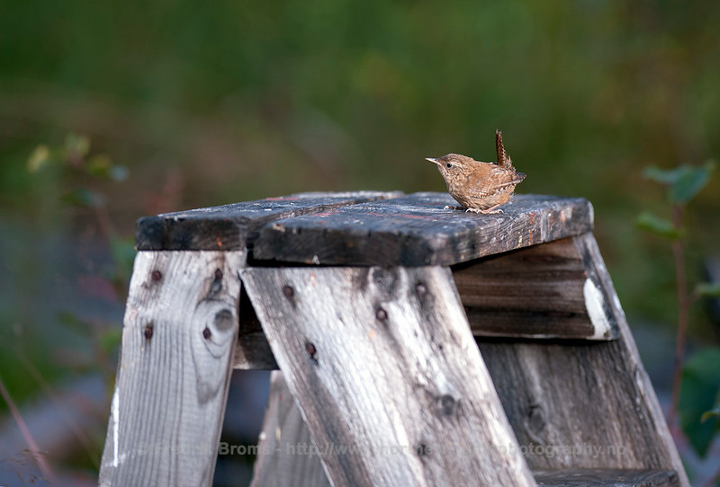 Wren, Norway