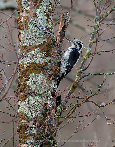 Male Three-toed Woodpecker, Kvaløya, Norway