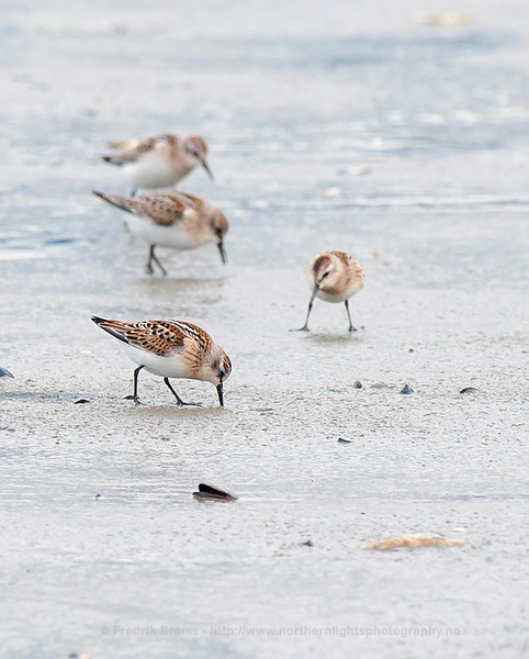 Little Stints during Autumn Migration, Norway