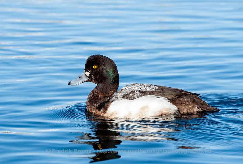 Greater Scaup, Norway