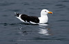 Greater Black-backed Gull, Norway